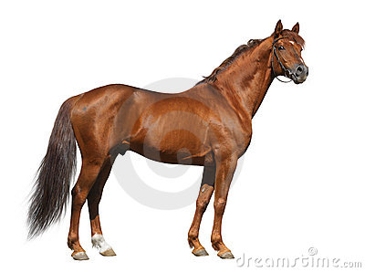 Stallion del Don dell acetosa isolato su bianco