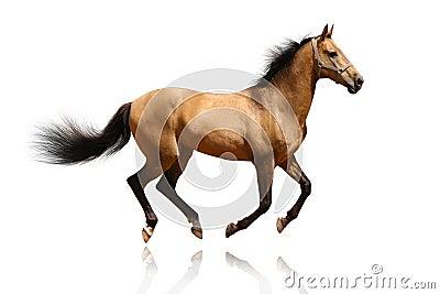 Stallion del Dun isolato
