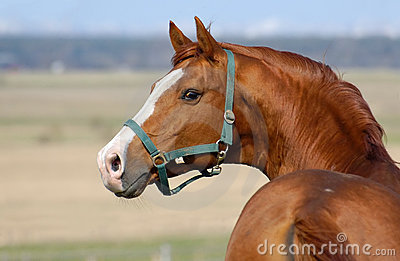 Stallion dell acetosa di Trakehner
