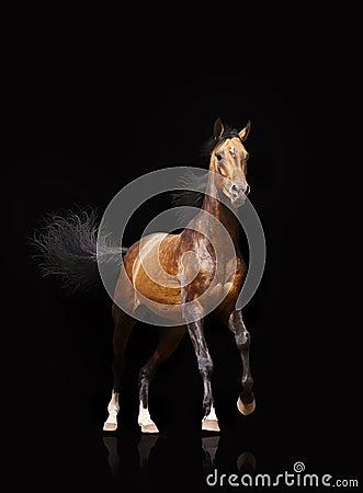 Stallion della baia