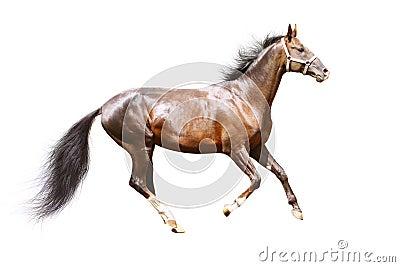 Stallion della baia isolato