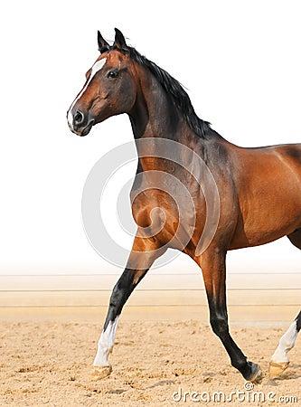 Stallion di Trakehner della baia