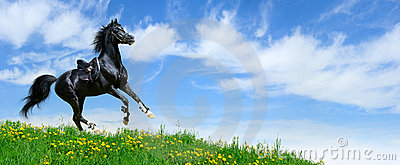 Stallion gallops in field
