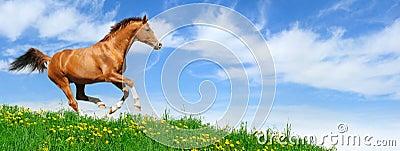 Stallion gallops in field