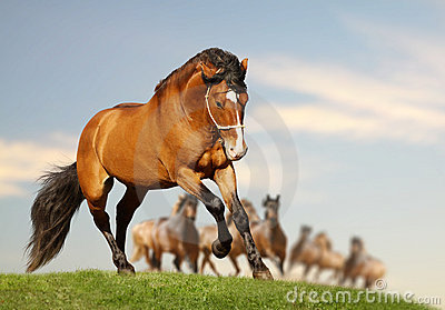 Stallion with herd