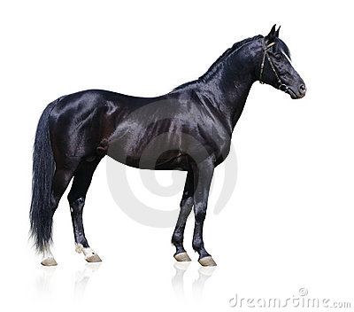 Stallion nero di Trakehner