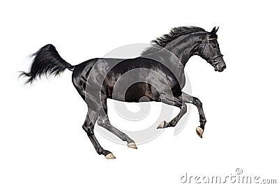 Stallion nero galoppante isolato su bianco
