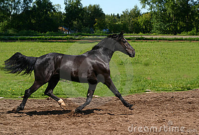 Stallion nero sul movimento