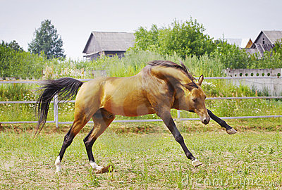 Stallion playing