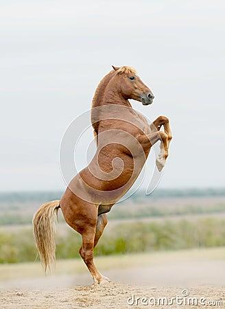 Stallion rears