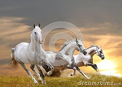 Stallions in sunset