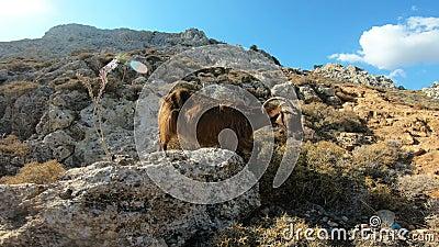Stambecco su una roccia in Grecia archivi video