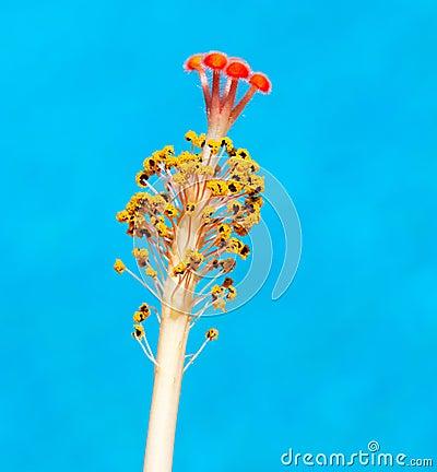 Stamen of Hibiscus against blue pool