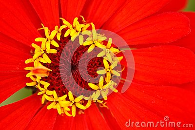 Stamens of the flower zinnia  with reds leaves