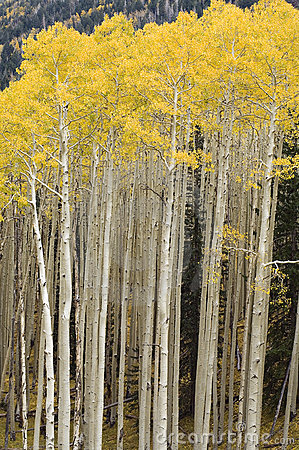 Free Stand Of Quaking Aspen Trees Royalty Free Stock Photos - 599688