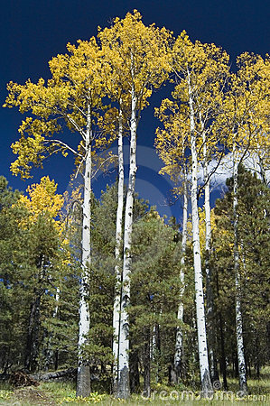 Free Stand Of Quaking Aspens Royalty Free Stock Image - 599696