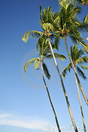 Stand of palm trees against a blue sky