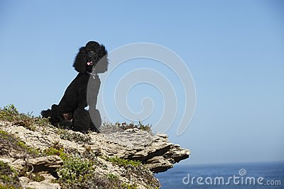 STandard poodle on beach