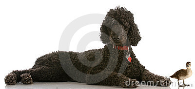 Standard poodle with mallard duck