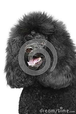 Standard poodle portriat