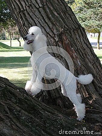 Standard Poodle in tree
