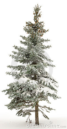 Free Standing Alone Fur-tree Stock Images - 7160844