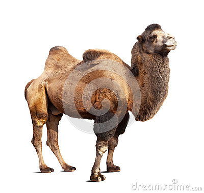 Free Standing Bactrian Camel On White Background Royalty Free Stock Image - 27651336
