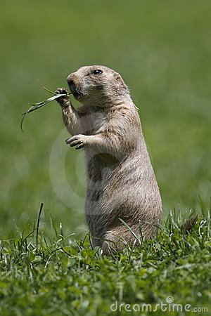 Standing black-tailed prairie dog