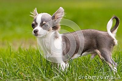 Standing Chihuahua