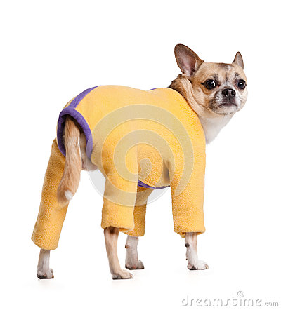 Standing chihuahua doggy in one-piece suit