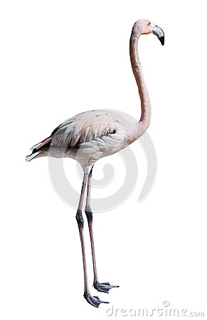 Free Standing Flamingo. Isolated Over White Royalty Free Stock Images - 41685349