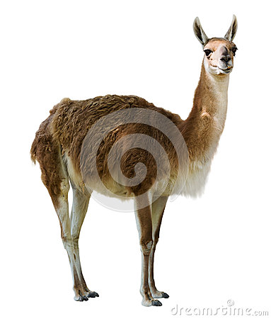 Standing guanaco