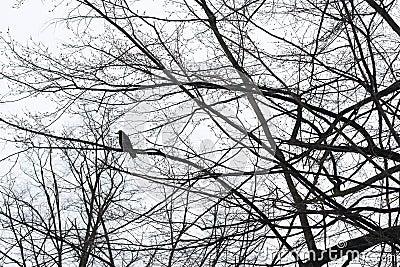 Crow sitting