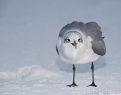 Standing Laughing Gull