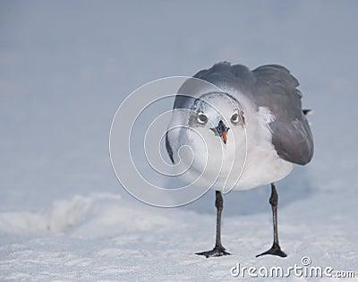 Standing Laughing Gull