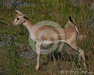 Standing little antelope