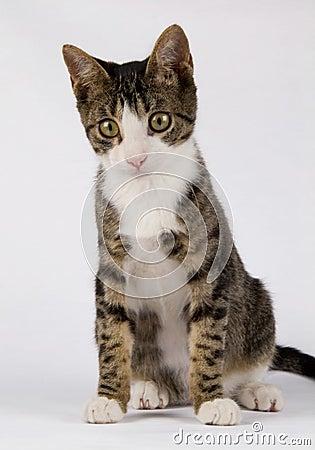 Standing little cat