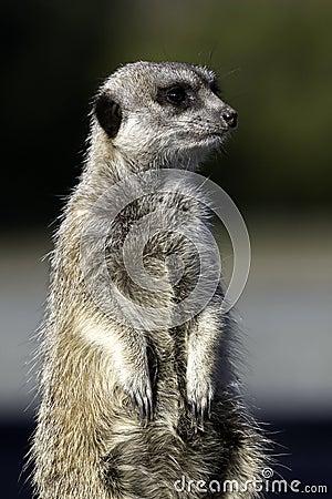 Standing Meercat