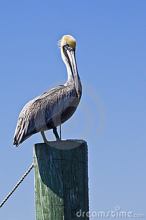 Free Standing Pelican Stock Images - 13715754