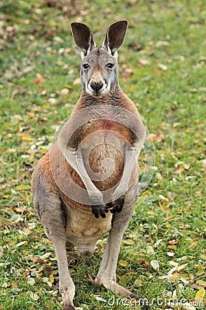 Standing red kangaroo