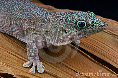 Standing s day gecko