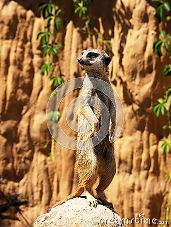 Standing suricatta (meerkat)
