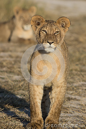 Free Standing Young Lion Royalty Free Stock Image - 45081096