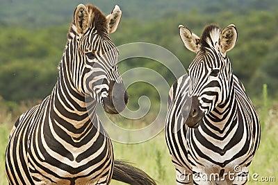 Standing Zebras
