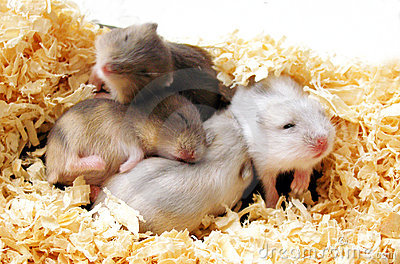 Stapel der netten Schätzchen-Hamster