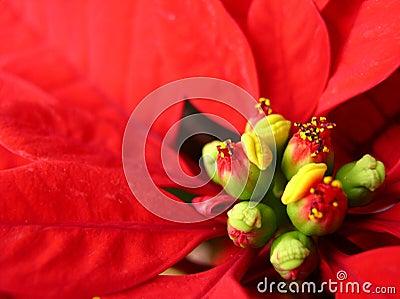 Red Star of Bethlehem flower