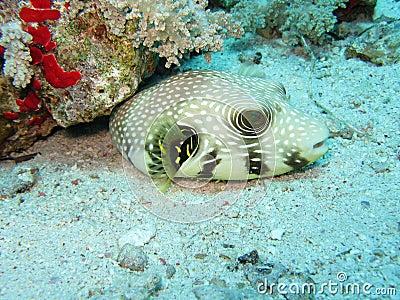 Star Puffer Fish