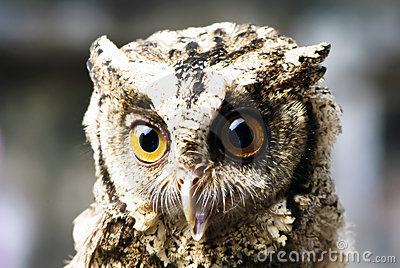 Stare of an owl