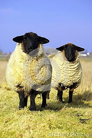 Starende schapen