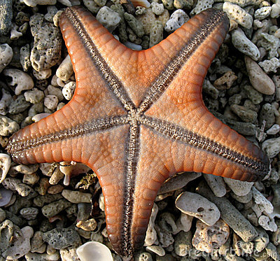 Starfish on coral stones